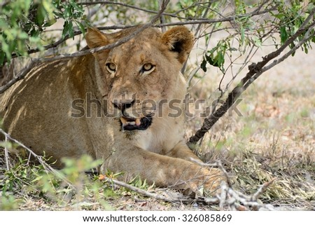 Lone lioness seeking some shade on a hot day - stock photo