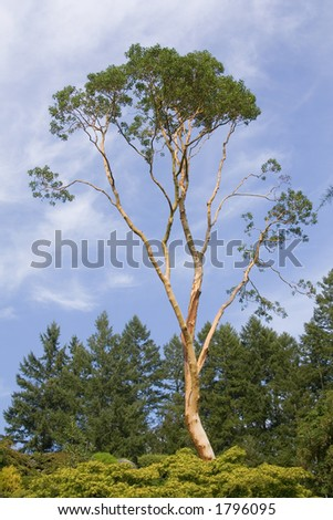 Lone Madrona tree against  a blue sky. - stock photo