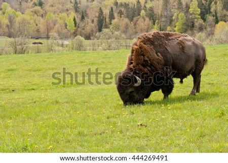 Lone male bison grazing on some green grass.