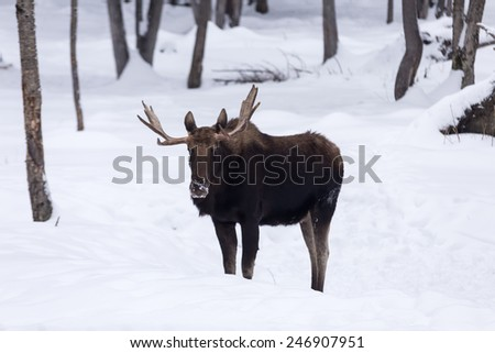 Lone Male moose in winter - stock photo