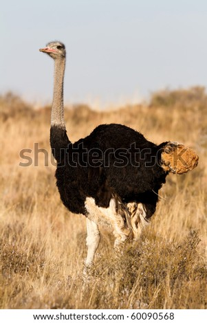 Lone male Ostrich standing on the African GrassPlains - stock photo