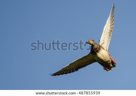 Lone Mallard Duck Flying in a Blue Sky