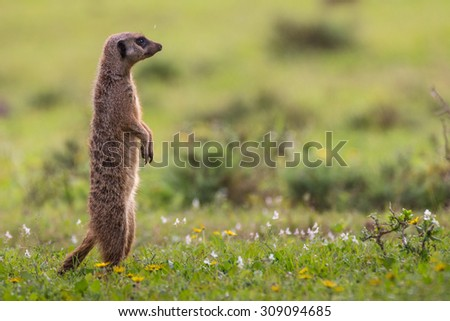 Lone meerkat standing upright on green pasture in Addo Elephant Park South Africa