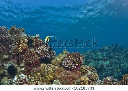 Lone Moorish Idol on a Hawaiian Reef in Kona - stock photo