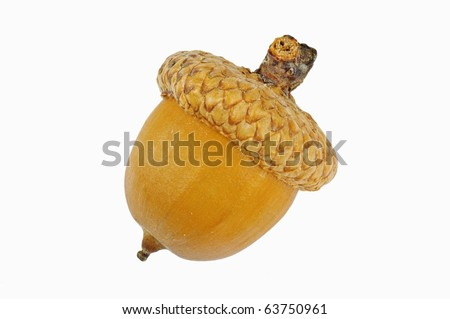 Lone Oak acorn separated on a white background. Separated on a white background. - stock photo