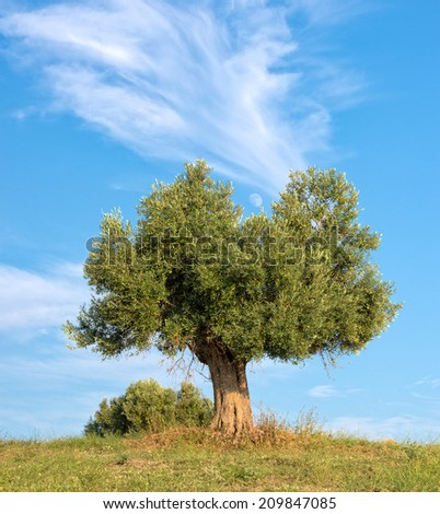 Lone Olive tree with the moon between the branches - stock photo