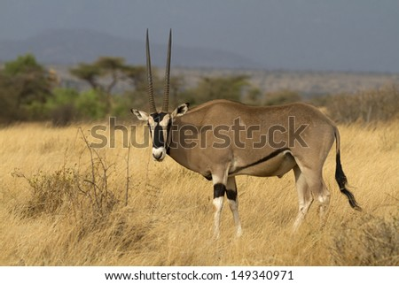 Lone oryx standing on yellow grass - stock photo