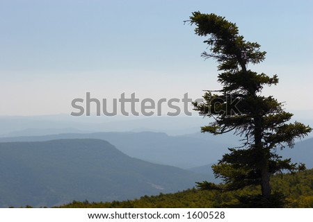 Lone pine. Dolly Sods, Monongahela National Forest, West Virginia, USA - stock photo