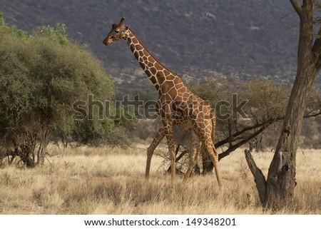 Lone reticulated giraffe bull walking  - stock photo