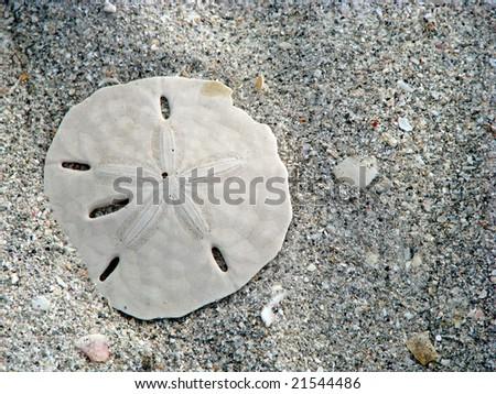 lone sand dollar and sea shells on beach - stock photo
