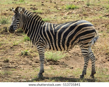 Lone single zebra standing side on looking