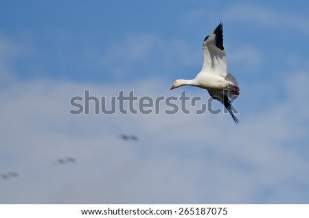 Lone Snow Goose Flying in the Clouds - stock photo