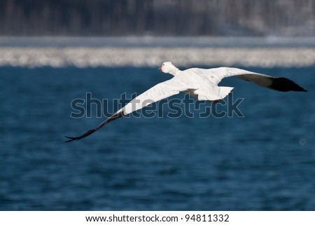Lone Snow Goose Flying Over The Water - stock photo