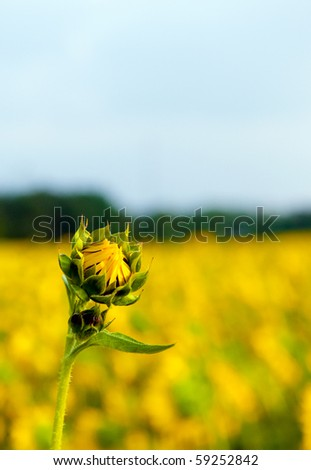 lone sunflower isolated from sunflower field - stock photo