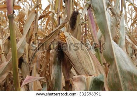 Lone Survivor in Cornfield - stock photo
