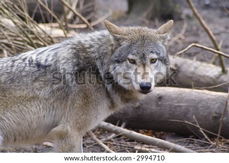 Lone timber wolf breaks from pack to investigate - stock photo