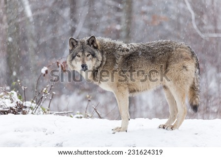 Lone Timber wolf in a winter scene - stock photo