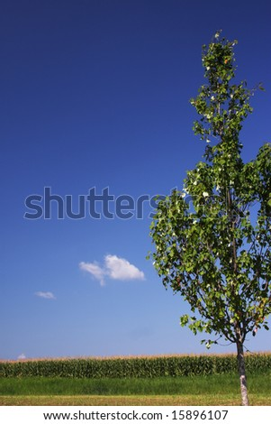 Lone tree and corn field.  Shot in Hershey, PA during the summer. - stock photo