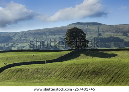 Lone tree at Burtersett, near Hawes, Wensleydale - stock photo