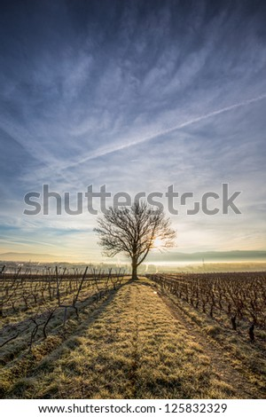 Lone tree at sunrise in a vineyard