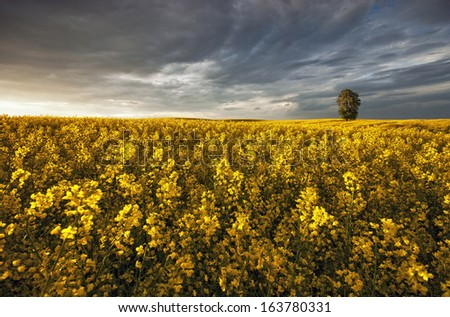 Lone tree in a field of ripening rapeseed - stock photo
