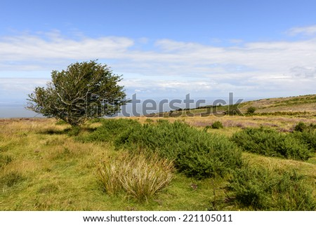 lone tree in moor and Bristol channel, Exmoor  landscape with moor vegetation, in background the sea of Bristol channel  - stock photo