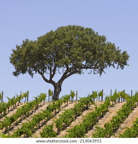 Lone tree on the top of a hillside vineyard in the Paso Robles wine grape area of California - stock photo