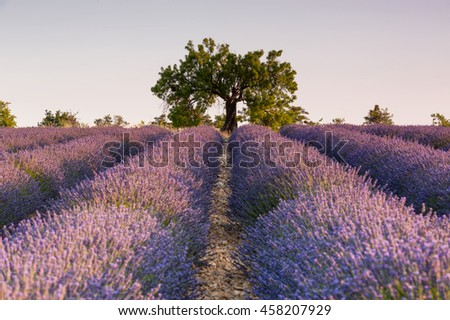 Lone tree over the beds of lavender at sunrise. Provence, France