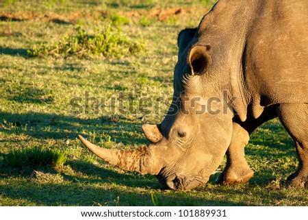 Lone White Rhino - stock photo