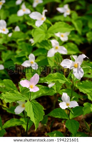 Lone White Trillium shown in it's pink phase amongst the other Trilliums in the white phase. Trillium grandiflorum is the official emblem of the Province of Ontario and the State Wildflower of Ohio.  - stock photo