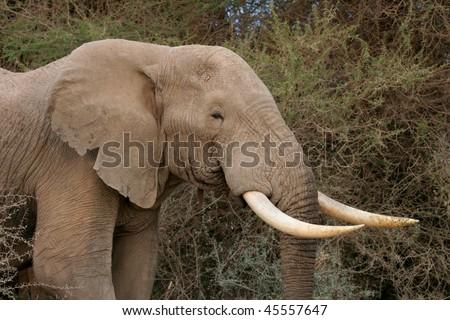 Lone wild African elephant in Kenya - stock photo