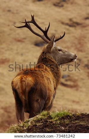 Lone wild red deer stag in the Scottish Highlands. - stock photo