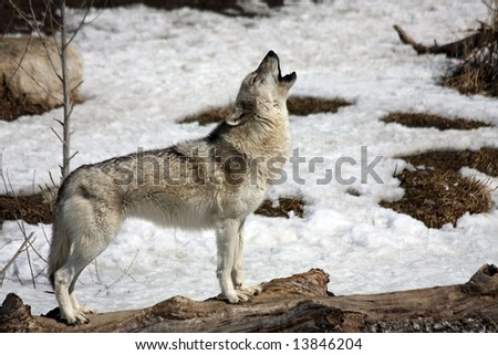 Lone Wolf howling in winter. - stock photo