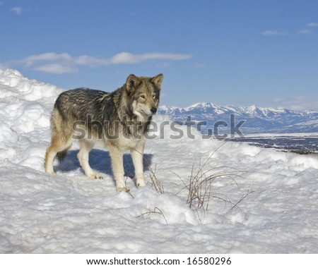 lone wolf in snow - stock photo