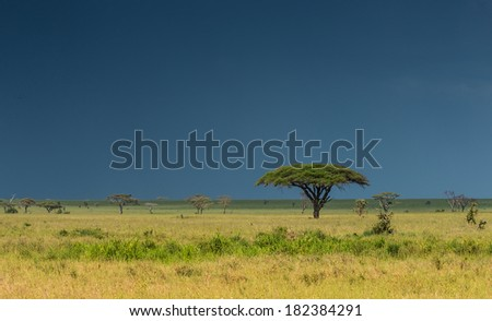 Lonely Acacia tree in Serengeti reserve, Africa - stock photo