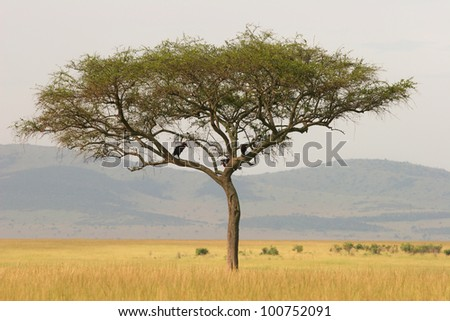 Lonely acacia tree on the savannah, Masai Mara, Kenya