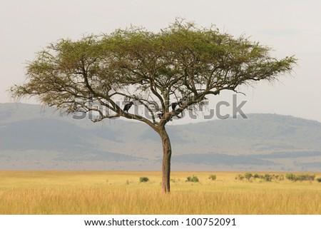 Lonely acacia tree on the savannah, Masai Mara, Kenya - stock photo