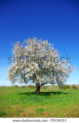 Lonely  almond tree in green field at Portugal.