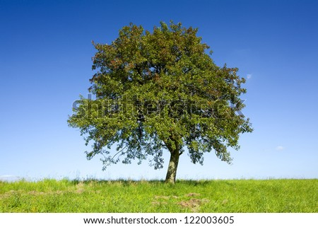 Lonely apple tree on a field, by Beckingen, Saarland / Germany, - stock photo