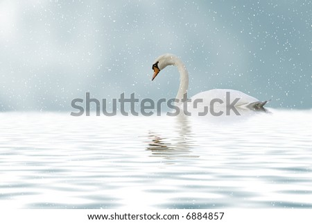 lonely beautiful swan swimming on the lake in winter - stock photo