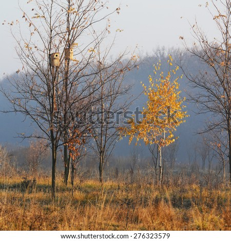 lonely birch in the morning sun autumn morning - stock photo