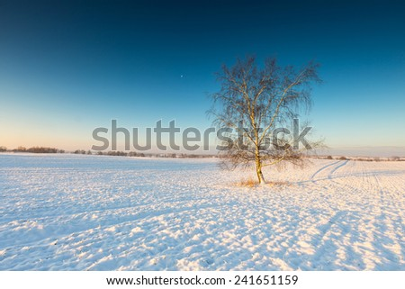 lonely birch tree on winter field at sunset
