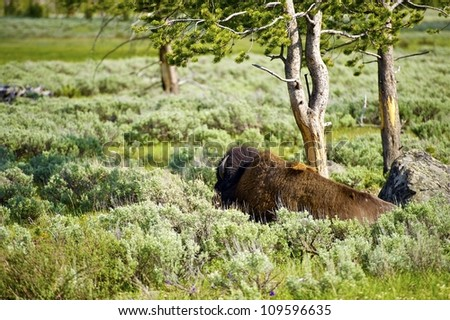 Lonely Bison in the Yellowstone National Park. Bison Under the Tree. Wildlife Photography Collection. - stock photo