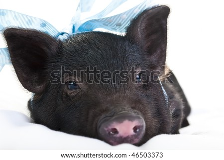 Lonely black piggy lying down with a blue polka dot ribbon.