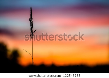 lonely blade of grass in front of sunset. The concept of loneliness, abandonment, parting, separation
