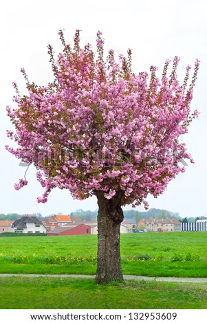Lonely blossoming cherry. Spring landscape.