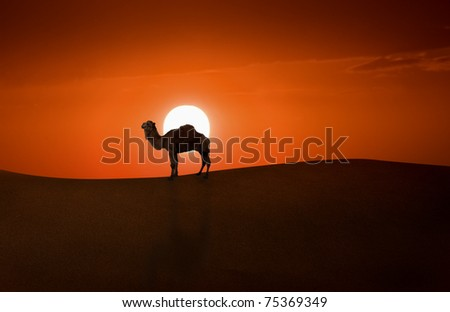 Lonely camel and the sunset at the desert