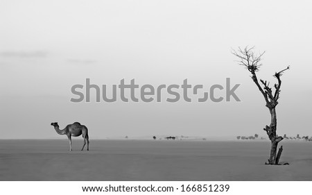 Lonely camel and tree in Dubai desert