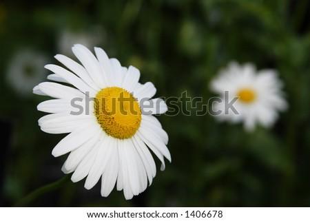 lonely daisy - stock photo