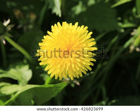 Lonely dandelion pushing for solar. - stock photo